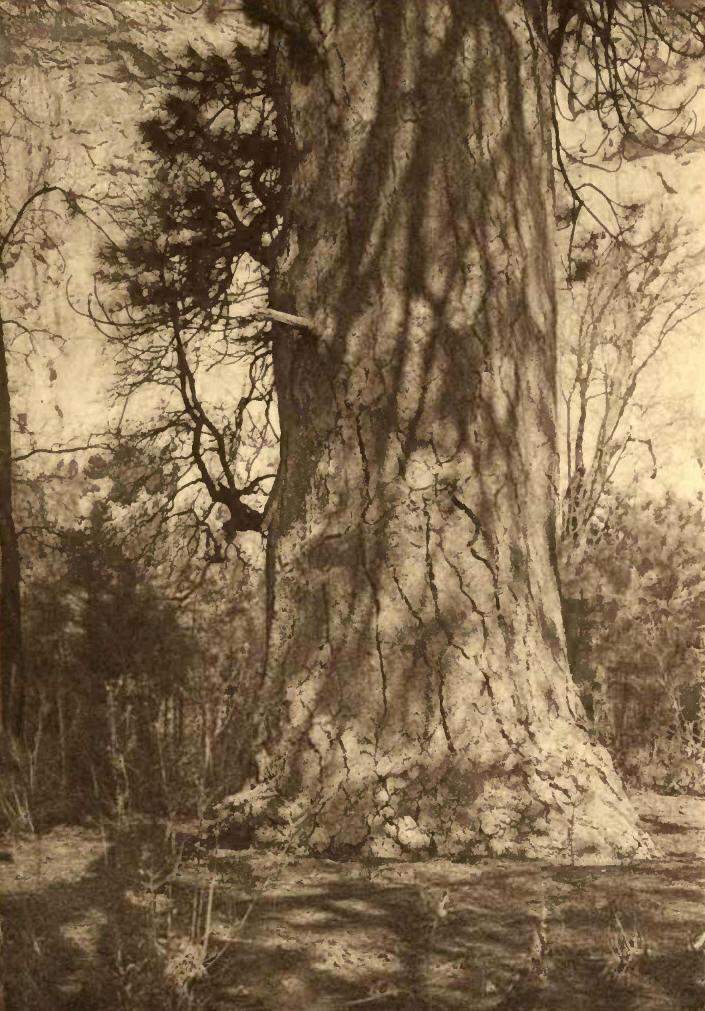 Underbrush In Owen Park Is So Dense Its >> The Writings Of John Muir