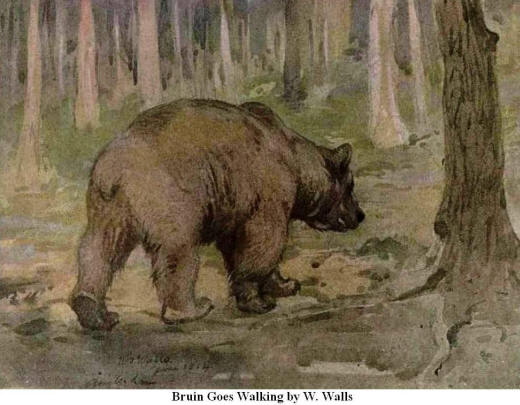 Bruin goes Walking. By W. Walls