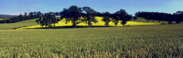 Wheatfield near village of Kippen in Stirlingshire. Has links